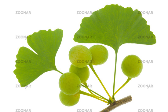 single twig with leaves of Ginkgo tree with fruits isolated over white background