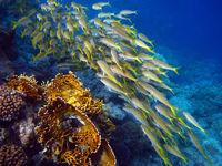 Schwarm über dem Riff