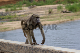 a baboon in the Kruger National Park South Africa
