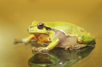 cute colorful green tree frog ( Hyla arborea )
