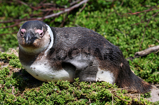 Brillenpinguin, Stony Point, Südafrika, African penguin, South Africa
