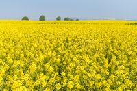 spring rapeseed flower field