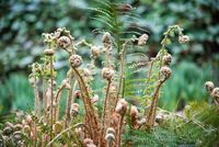 Fern fiddlehead unfurling with selective focus