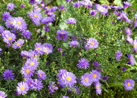 aster flowers