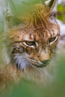 Eurasischer Luchs - Tierpark Olderdissen, Deutschland