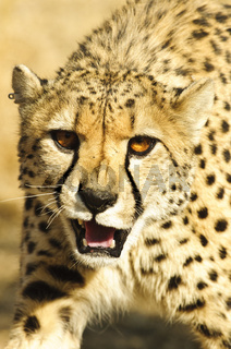 Aggression display cheetah (Acinonyx jubatus)