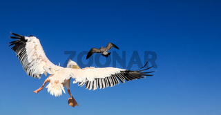 Pelican pursues a seagull. Bird animal fight in the air.