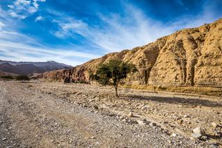 Acacia tortilis in the Black Canyon