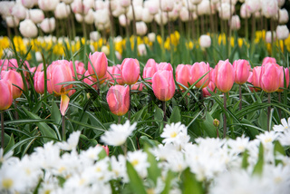 Row of pink tulips on Dutch spring fields