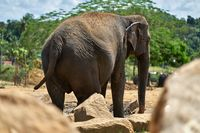 Asian elephant in national park