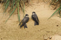 zwei gemeinsam... Uferschwalbe *Riparia riparia*; Paar kurz nach Ankunft im Brutrevier
