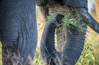 Close up of an Elephant eating grass.