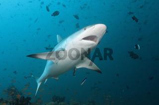 Grauer Riffhai mit geoeffneten Maul