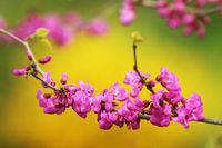 close up of japanese cherry tree twig in bloom over colorful out of focus natural background