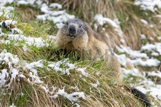Murmeltier (Marmota marmota) im Schneehe, Nationalpark Hohe Tauern, Kärnten, Österreich, Europa