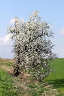 Blühende Felsen-Kirsche am Straßenrand, Prunus mahaleb