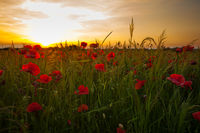 Poppy fields on sunset