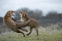 side kick... Rotfüchse *Vulpes vulpes*
