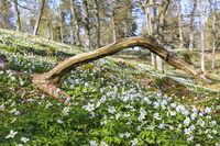 Blooming Wood Anemone at springtime