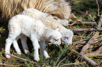 Sheep with lamb, easter symbol
