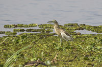Common squacco heron which stands on the grass flats on the banks of Lake Albert