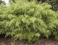 Bambus, Fargesia rufa