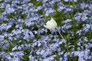 Tulpe im Blumenmeer- Tulipa