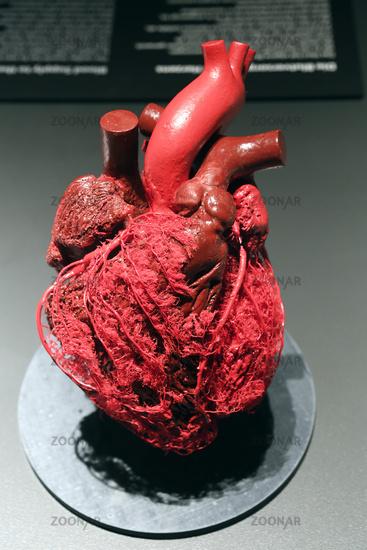 Foto Präparat, Plastinat, Blutgefäße des menschlichen Herzens, Mens ...