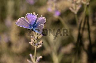 Männlicher Hauhechel-Bläuling / Polyommatus icarus