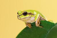 european tree frog standing  on a leaf ( Hyla arborea )