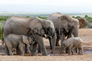 African bush elephant family structure Mom