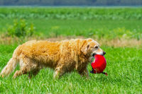 Dog in grass carrying safety helmet