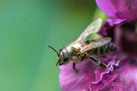 Biene auf Blüte / Südliches Burgenland