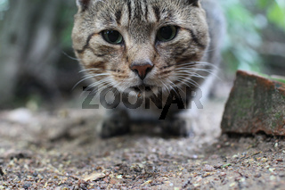 striped tabby cat looking close to