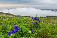 Blue aquilegia blooms against the background of mountains in the fog. Altai Krai.