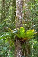 Vogelnestfarn Asplenium nidus