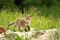 tiny red fox cub near the den