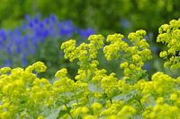 Weicher Frauenmantel, Alchemilla mollis - the herbal plant ladys-mantle or Alchemilla mollis