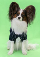 Beautiful young continental spaniel papillon in a tuxedo with butterfly on a green background