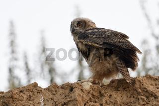 flügge... Europäischer Uhu *Bubo bubo* sitzt hoch oben auf der Abbruchkante einer Sandgrube