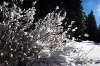 Snow-covered bush in winter spruce forest after snowfall