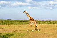 Giraffe walking in the landscape in Africa