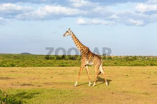 Giraffe walking in the landscape in Africa
