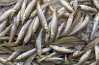 Many fishes on market