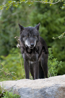 Timberwolf, Canis lupus lycaon, timber wolf