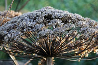 Plant cow-parsnip Sosnovsky Heracleum with seeds in autumn.
