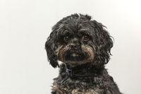 Hundeportrait eines Bolonka Zwetna