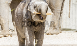 Africa, baby elephant playing with a log of wood