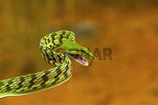 Green vine snake, Ahaetulla nasuta, Mild Venomous