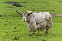 Yak mit Hörnern auf der Weide
